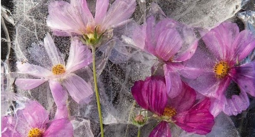 Zero Degrees: Frozen flower photography